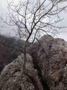 Il ciliegio cresciuto tra le rocce